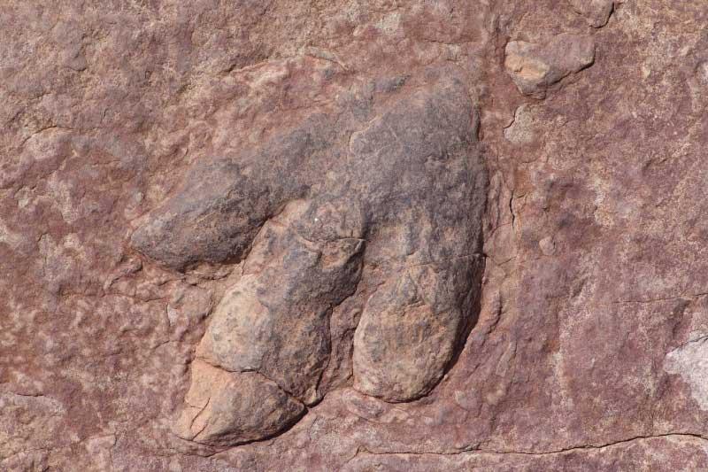 Trace fossil dinosaur footprint