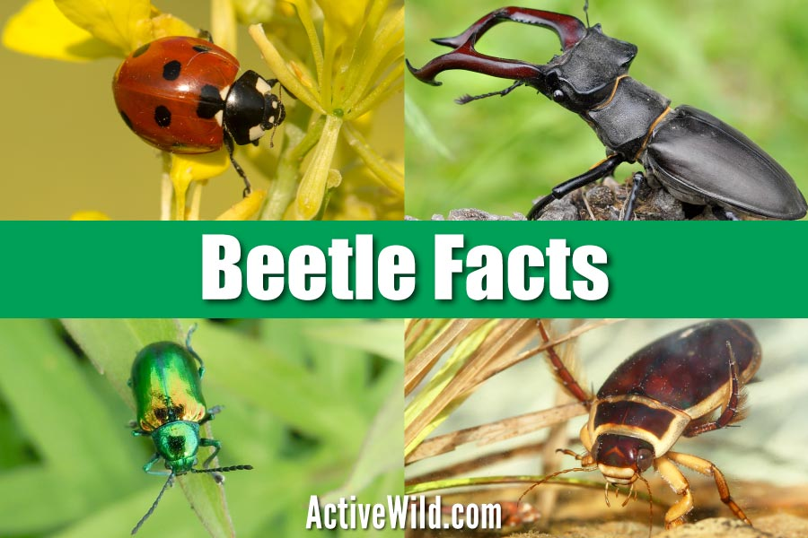 Beetle Facts