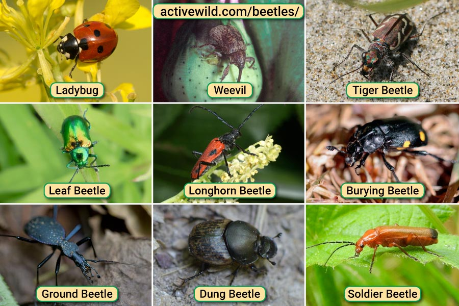 Beetles Pictures