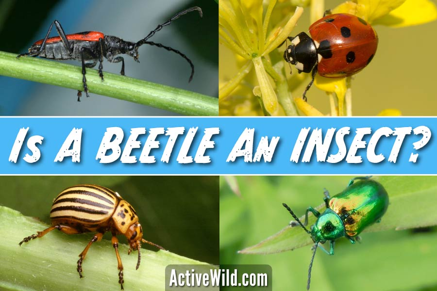 Is a beetle an insect