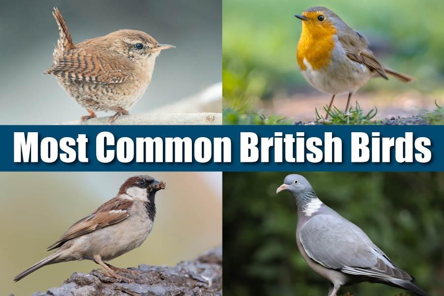 Most Common British Birds