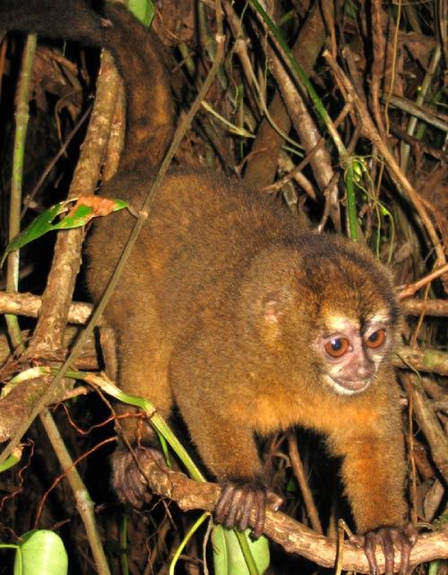 Panamanian night monkey
