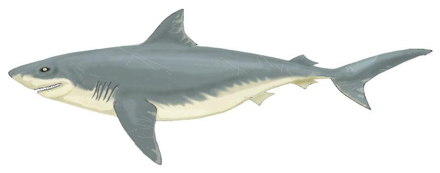 Squalicorax Mesozoic Shark