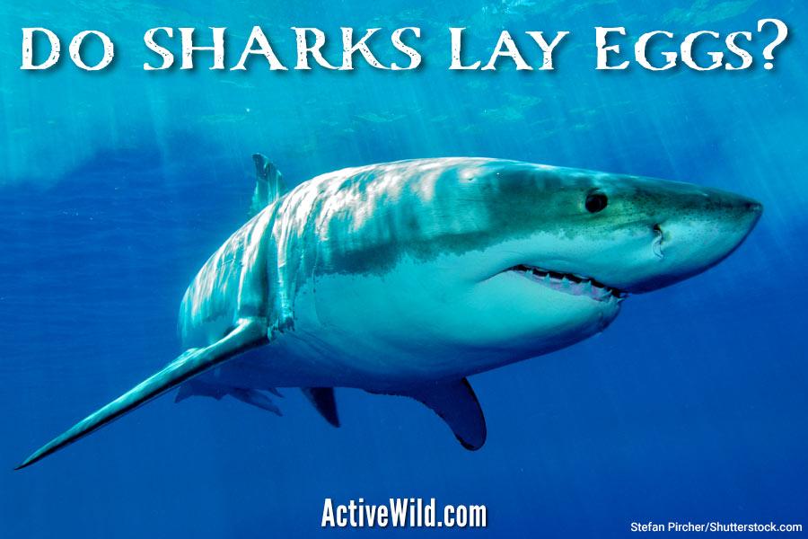 Do sharks lay eggs