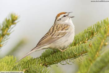 Sparrows (New World)