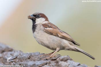Sparrows (Old World)