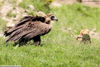 Vulture (Old World)
