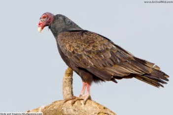 Vultures (Old World)