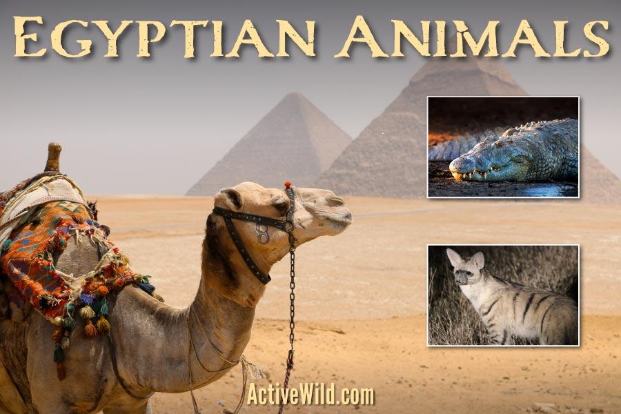 Egyptian Animals
