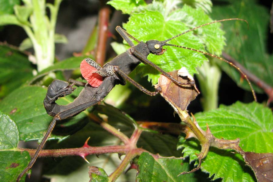 Golden-Eyed Stick Insect