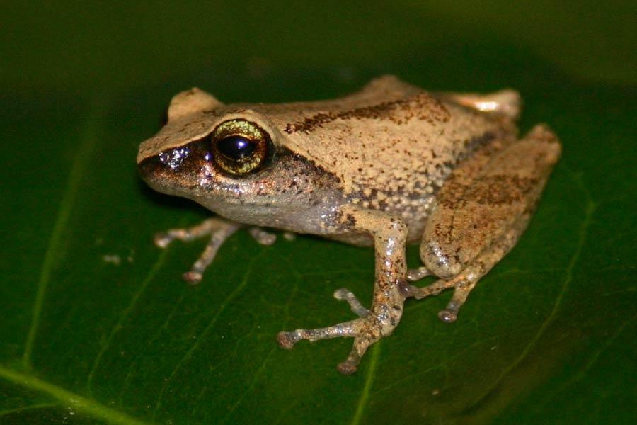 Green-eyed bushfrog