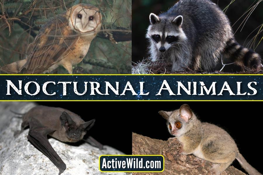 Nocturnal Animals List