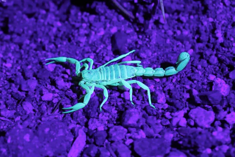 Scorpion glowing in ultraviolet light