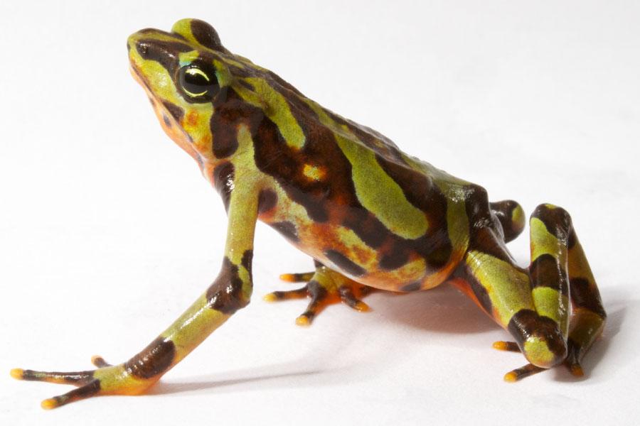 Variable Harlequin Frog