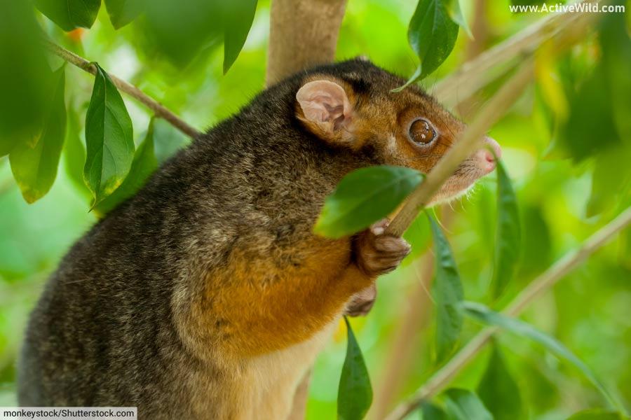 Common Ringtail Possum Marsupial