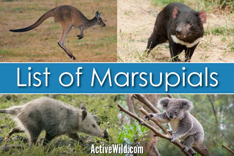 List Of Marsupials