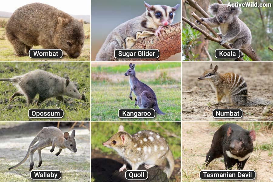 Pictures Of Marsupials