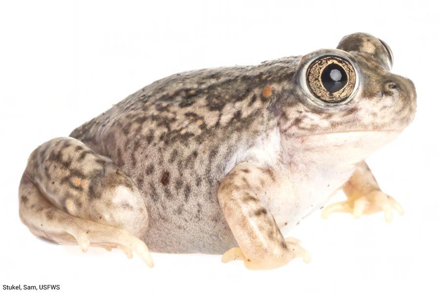 Plains Spadefoot Toad